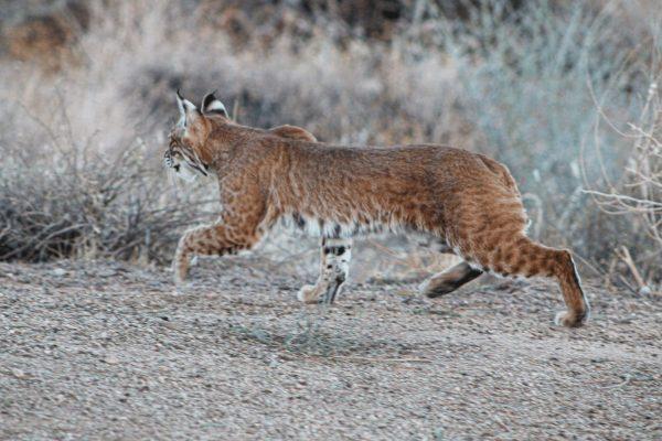 Lone Star Bobcat (1)