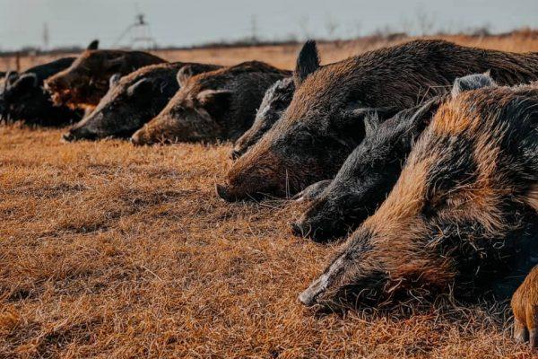 Lone Star Hunts-Sportsman Of Colorado Radio Show Sponsor-Hog Hunting texas-Host Scott Whatley 560AM KLZ